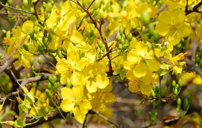 Kỹ thuật chăm sóc Mai và cách ngắt lá sao cho hoa nở đúng trong dịp Tết