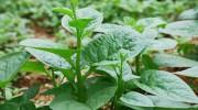 Cách trồng rau mồng tơi bằng cành