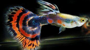 Kinh nghiệm nuôi cá 7 màu cần tham khảo qua