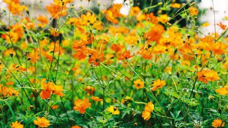 Lá của hoa sao nhái là 1 loại rau ngon và bổ dưỡng gọi là rau nhái